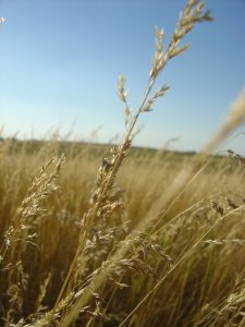 Prairie Grass at the Laura Ingalls Wilder Homestead