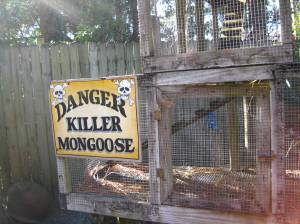 Killer Mongoose?