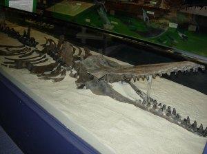 Fossilized whale skeleton. Courtesy of Brad Hatch.