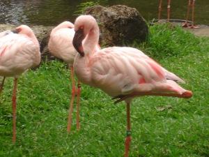 African Lesser Flamingo in Honolulu, Hawaii. Photograph courtesy of Ellen Detlefsen.