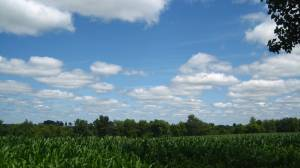Another corn field view.
