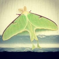Giant moth.