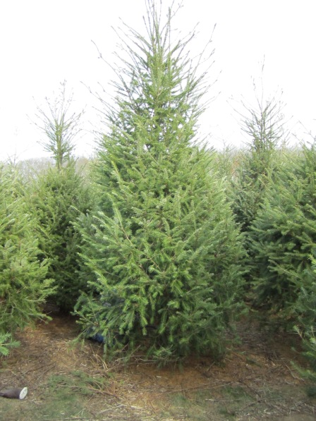 Type Three: Christmas Tree Farm. You're looking at a 14' Christmas tree, a classic O'Shea choice.