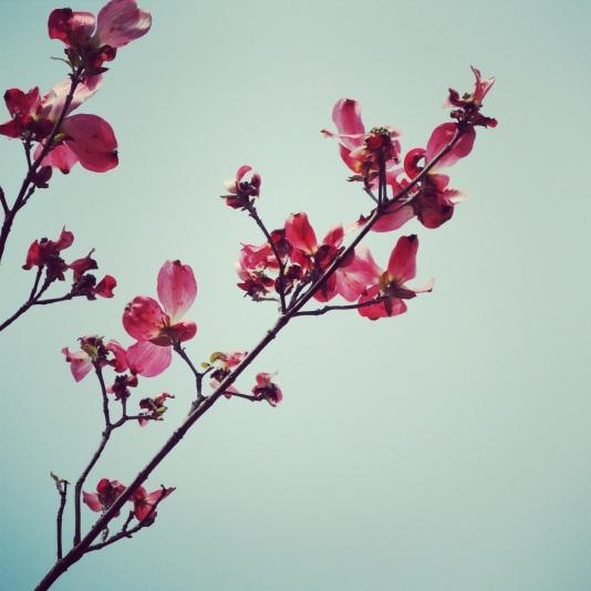 Pink dogwoods for spring.